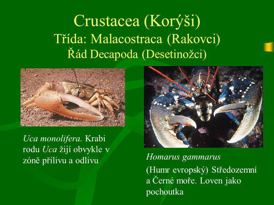 Crustacea (Korýši) Třída: Malacostraca (Rakovci) Řád Decapoda (Desetinožci) Uca monolifera. Krabi rodu Uca žijí obvykle v zóně přílivu a odlivu Homaru