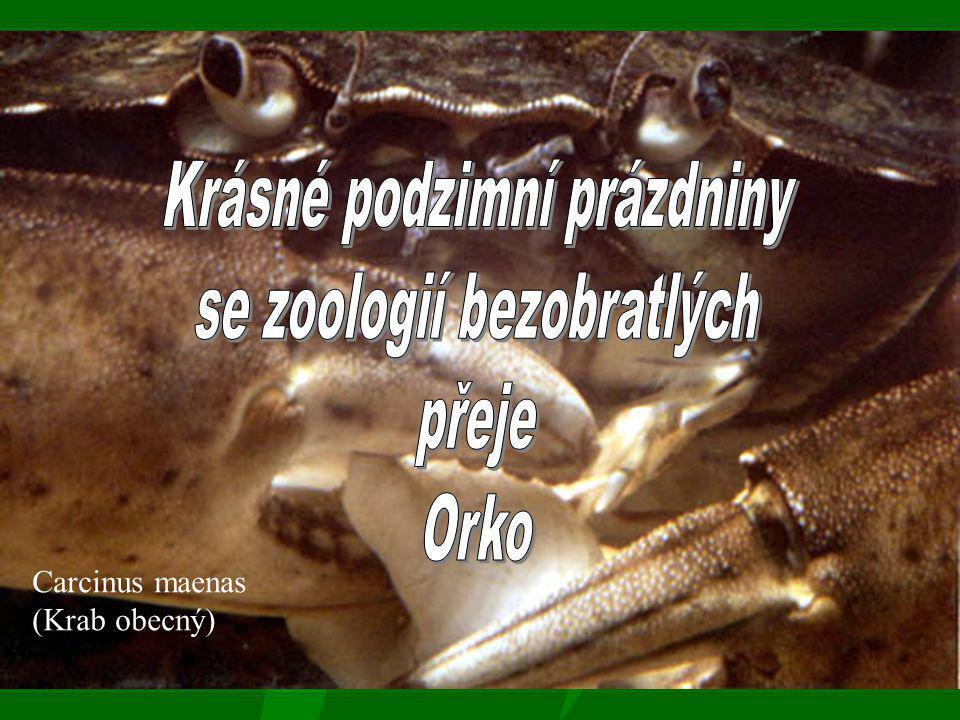 Carcinus maenas (Krab obecný)