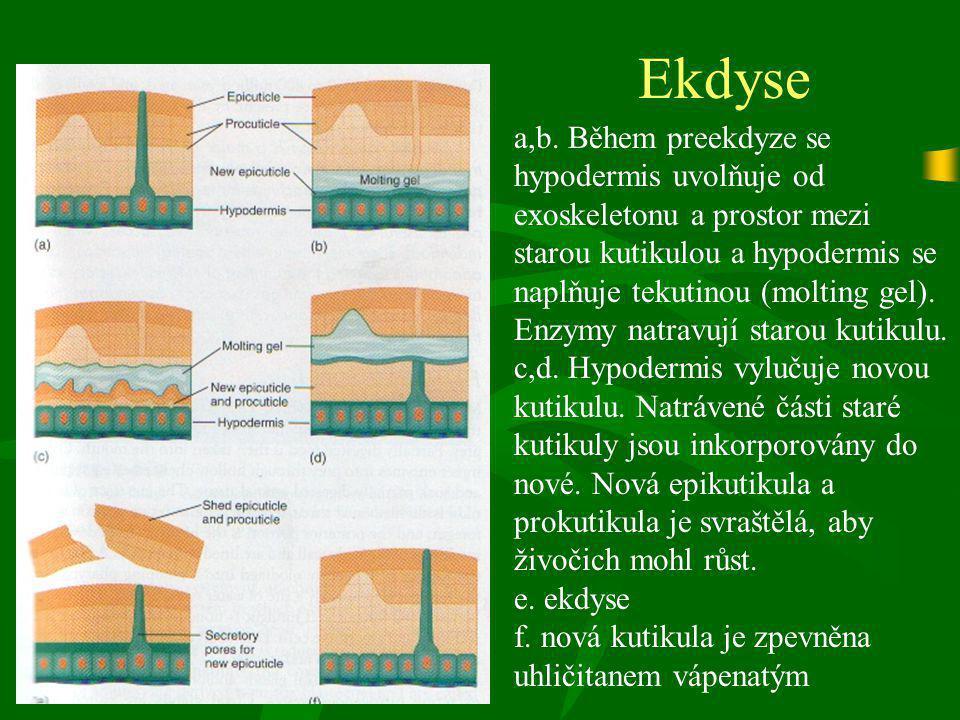 Ekdyse a,b. Během preekdyze se hypodermis uvolňuje od exoskeletonu a prostor mezi starou kutikulou a hypodermis se naplňuje tekutinou (molting gel). E