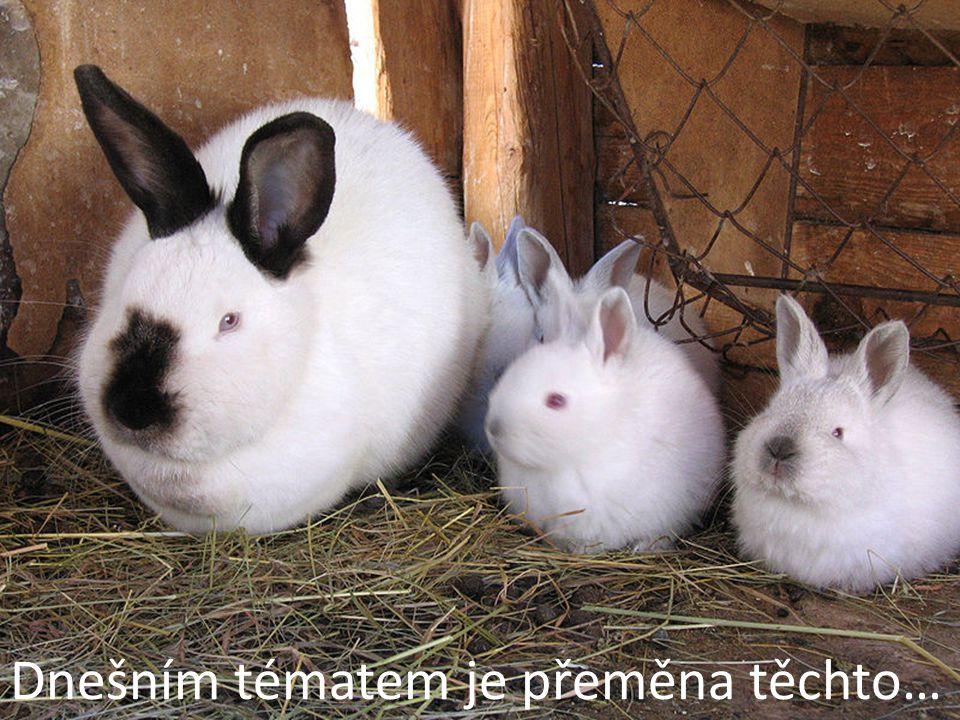 """Fenek bit-tewn u bl-nbid Potřeba je celý králík bez hlavy a vnitřností (z těhle """"zbytků na Maltě připraví třeba omáčku na těstoviny, naší variantou bylo si ledvinky a jatýrka hezky osmahnout na pánvi a dát jako předkrm), 0,7l láhev červeného vína, 3 – 5 paliček česneku, 1 cibule, olivový olej, 2 bobkové listy, sůl, pepř."""