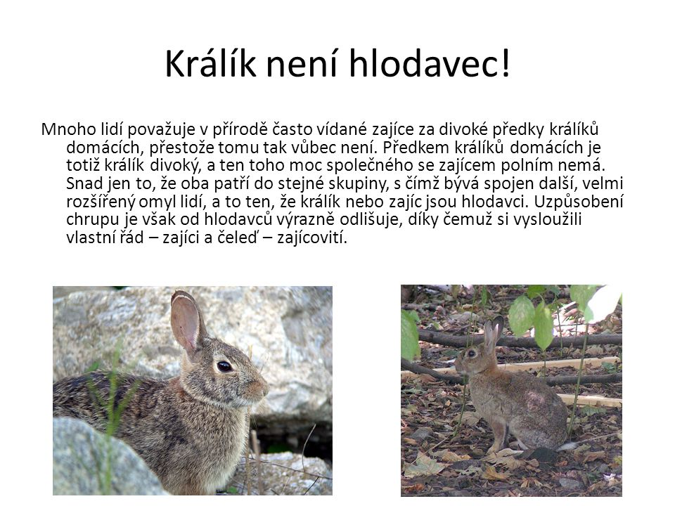 Králík není hlodavec! Mnoho lidí považuje v přírodě často vídané zajíce za divoké předky králíků domácích, přestože tomu tak vůbec není. Předkem králí