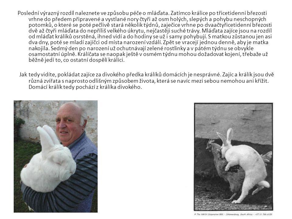 Poslední výrazný rozdíl naleznete ve způsobu péče o mláďata. Zatímco králice po třicetidenní březosti vrhne do předem připravené a vystlané nory čtyři