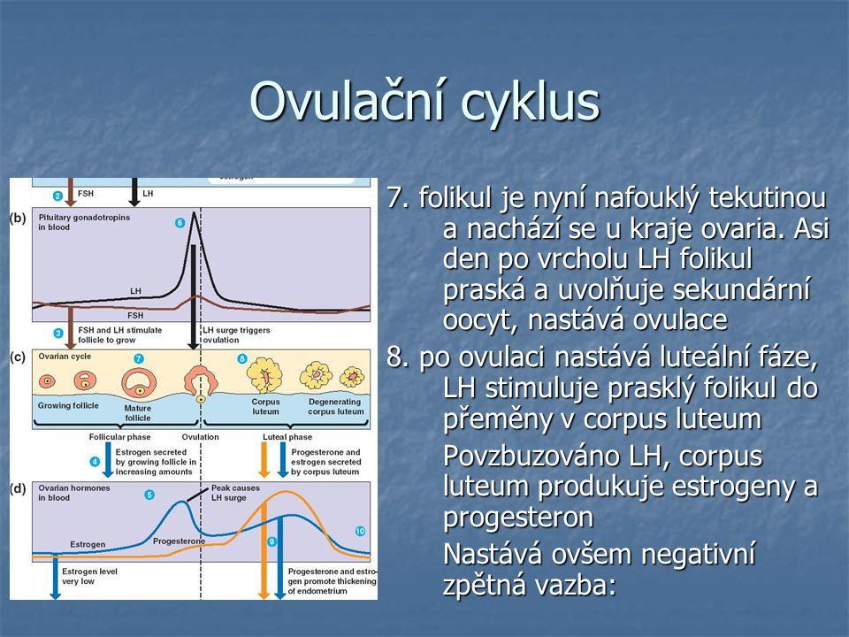Ovulační cyklus 7.folikul je nyní nafouklý tekutinou a nachází se u kraje ovaria.