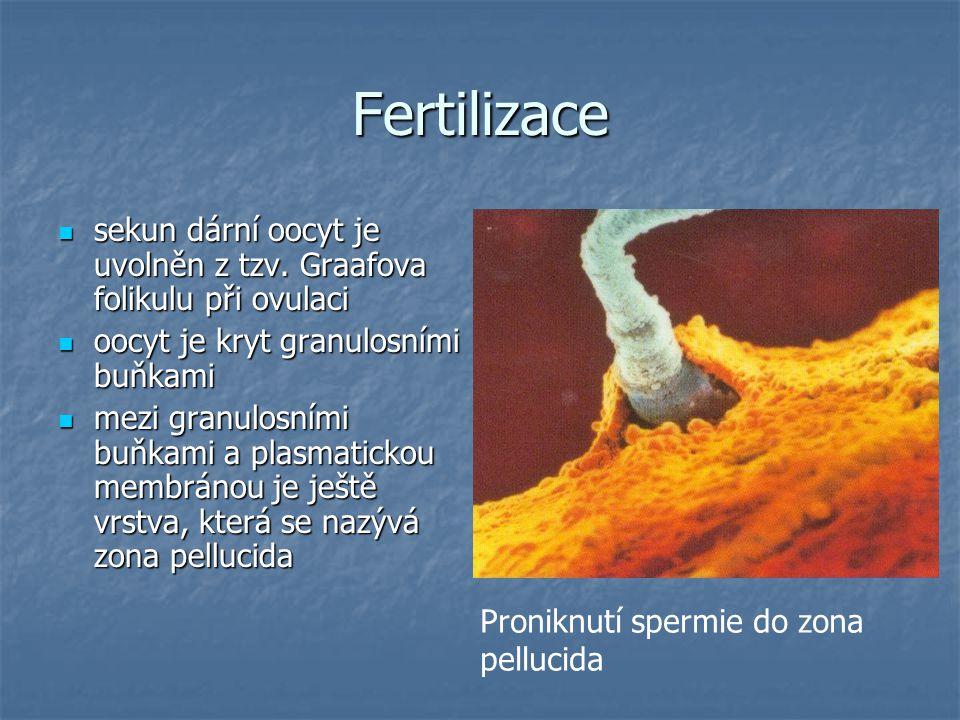 Fertilizace sekun dární oocyt je uvolněn z tzv.