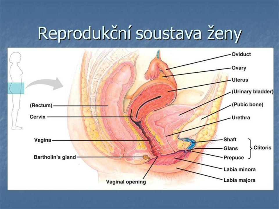 Reprodukční soustava ženy