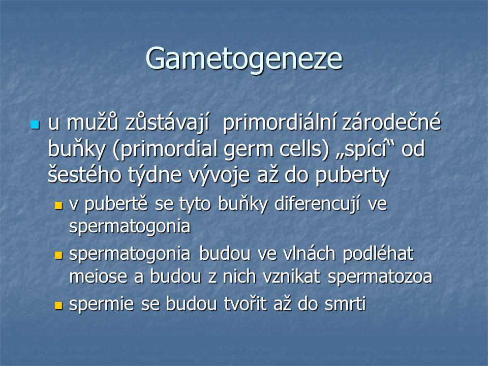 """Gametogeneze u mužů zůstávají primordiální zárodečné buňky (primordial germ cells) """"spící od šestého týdne vývoje až do puberty u mužů zůstávají primordiální zárodečné buňky (primordial germ cells) """"spící od šestého týdne vývoje až do puberty v pubertě se tyto buňky diferencují ve spermatogonia v pubertě se tyto buňky diferencují ve spermatogonia spermatogonia budou ve vlnách podléhat meiose a budou z nich vznikat spermatozoa spermatogonia budou ve vlnách podléhat meiose a budou z nich vznikat spermatozoa spermie se budou tvořit až do smrti spermie se budou tvořit až do smrti"""