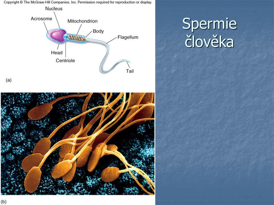 Spermie člověka
