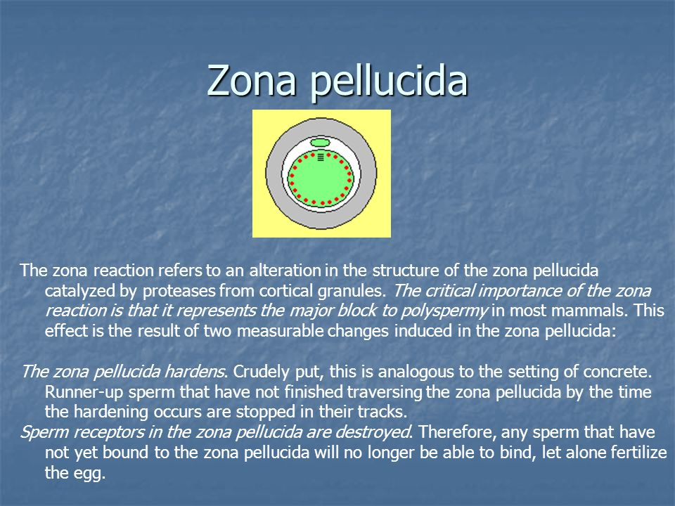 Zona pellucida The zona reaction refers to an alteration in the structure of the zona pellucida catalyzed by proteases from cortical granules. The cri