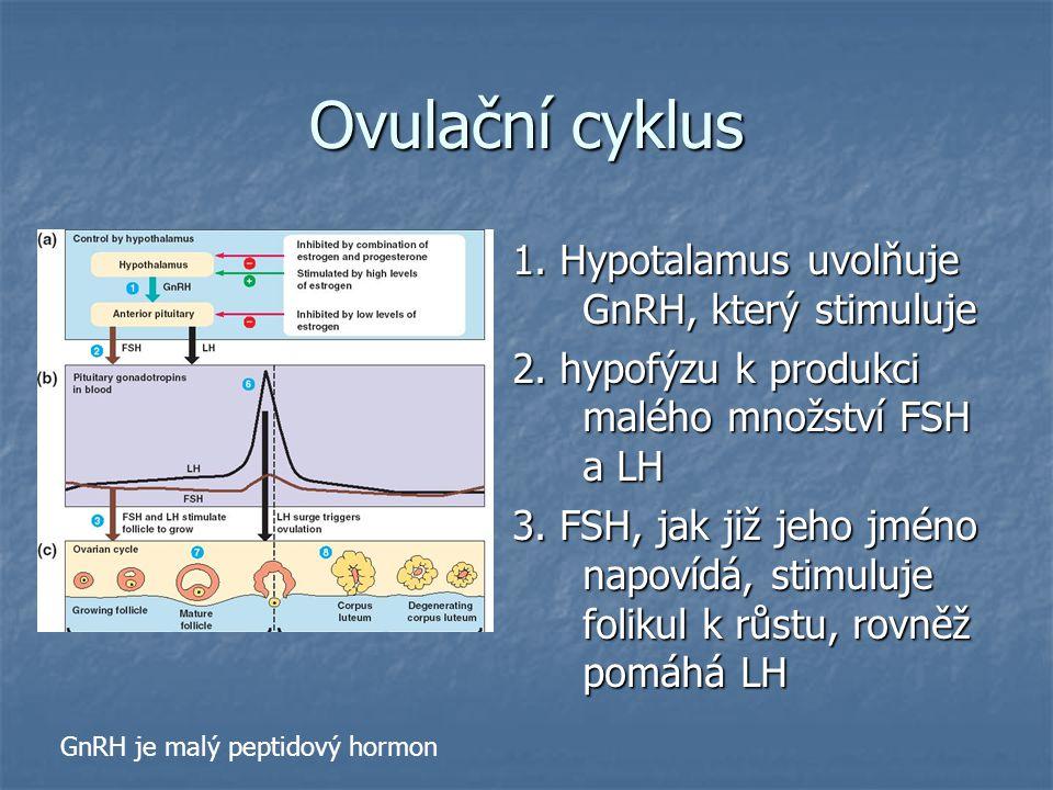 Ovulační cyklus 1. Hypotalamus uvolňuje GnRH, který stimuluje 2. hypofýzu k produkci malého množství FSH a LH 3. FSH, jak již jeho jméno napovídá, sti
