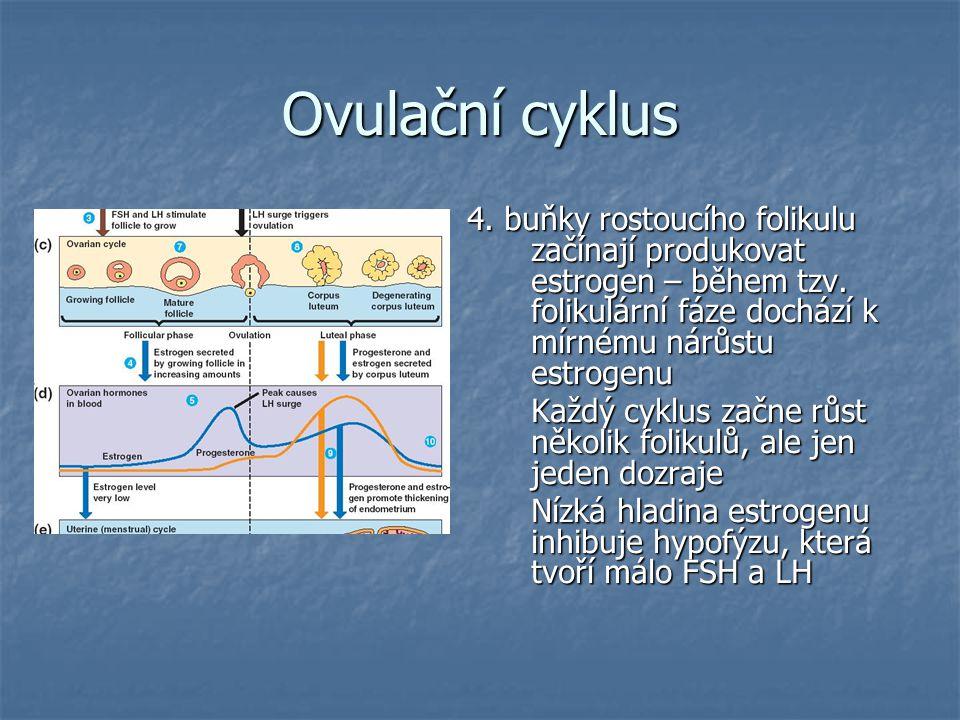 Ovulační cyklus 4. buňky rostoucího folikulu začínají produkovat estrogen – během tzv. folikulární fáze dochází k mírnému nárůstu estrogenu Každý cykl