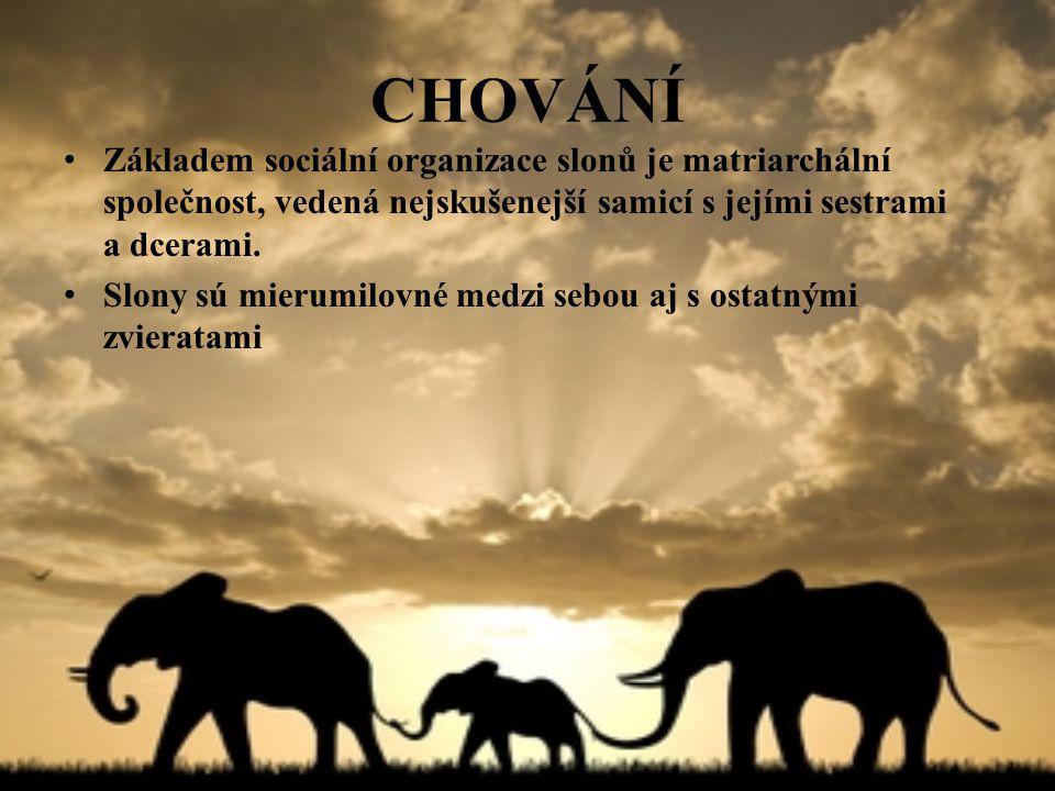 CHOVÁNÍ Základem sociální organizace slonů je matriarchální společnost, vedená nejskušenejší samicí s jejími sestrami a dcerami. Slony sú mierumilovné