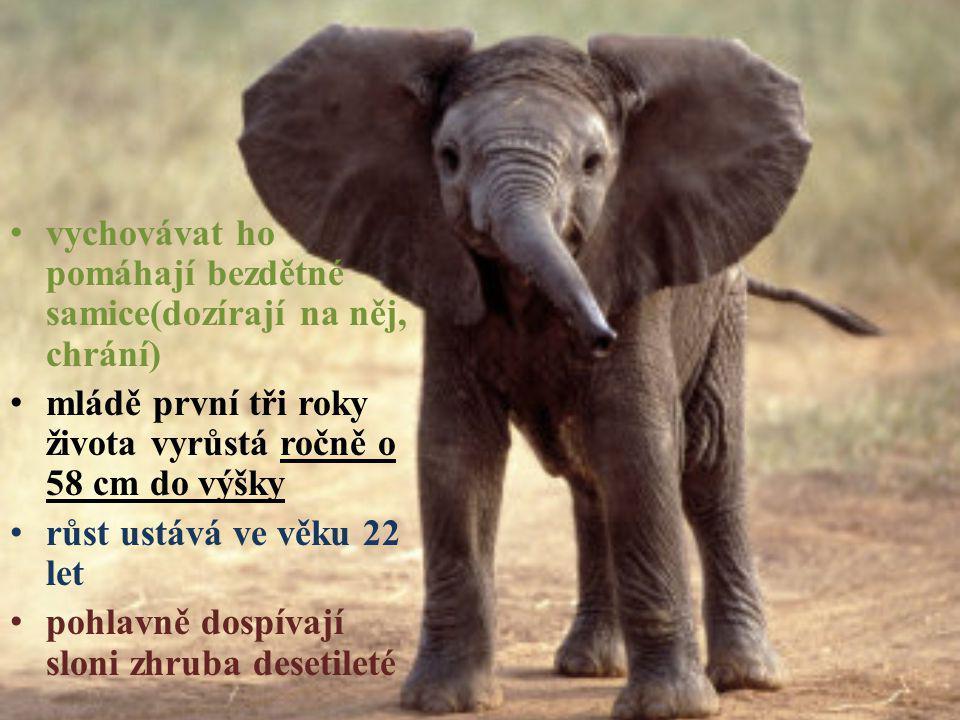 vychovávat ho pomáhají bezdětné samice(dozírají na něj, chrání) mládě první tři roky života vyrůstá ročně o 58 cm do výšky růst ustává ve věku 22 let