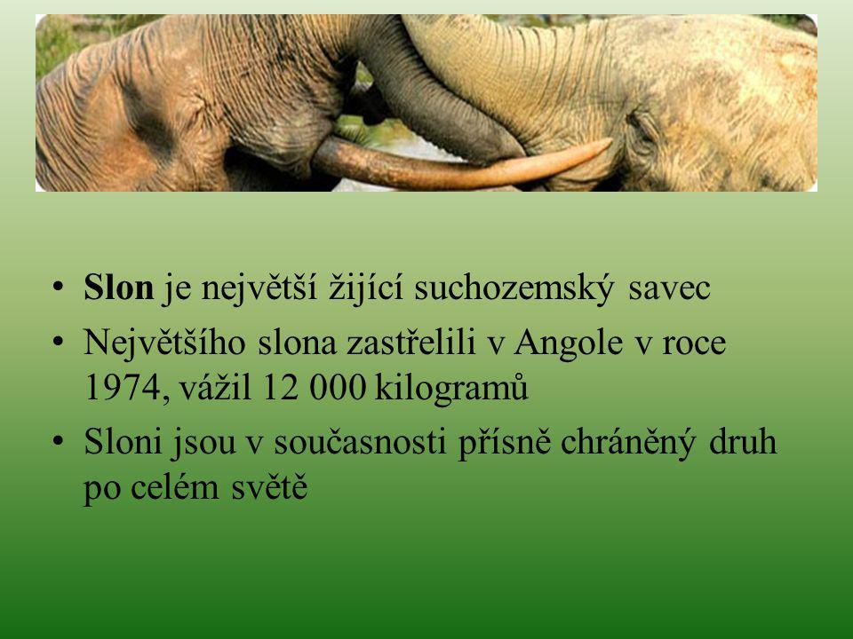 Slon je největší žijící suchozemský savec Největšího slona zastřelili v Angole v roce 1974, vážil 12 000 kilogramů Sloni jsou v současnosti přísně chr