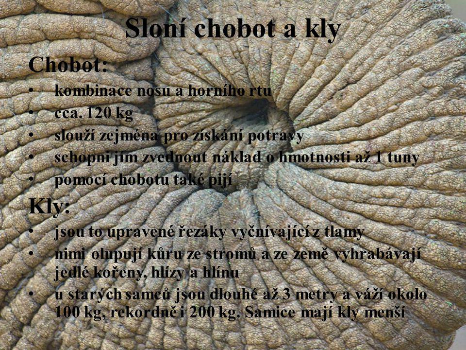 Sloní chobot a kly Chobot: kombinace nosu a horního rtu cca. 120 kg slouží zejména pro získání potravy schopni jím zvednout náklad o hmotnosti až 1 tu