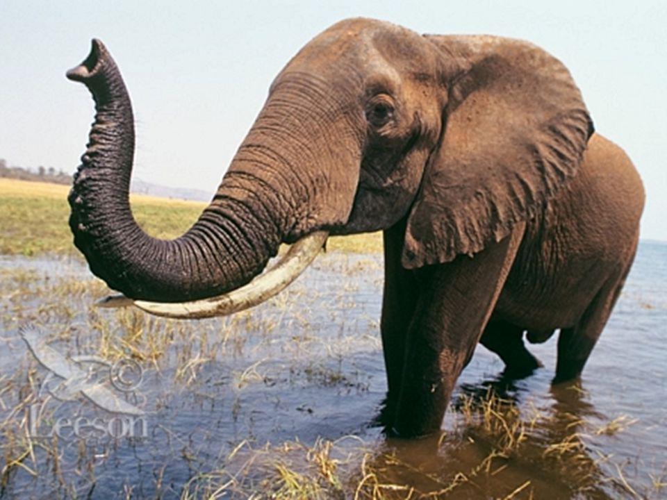 POTRAVA jsou býložraví a tráví denně až 16 hodin konzumací rostlinné potravy 50 % potravy tvoří trávy (zbytek listí, kořínky, ovoce, semínka či květiny) dospělý slon dokáže sežrat100 až 320 kg potravy za den