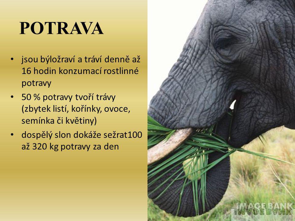 DRUHY 1.Slon africký (Loxodonta africana) : větší (měří až 4 m a váží 7 500kg), větší uši, samice má kly objevují dvě populace – savanní a pralesní - pralesní slon - savanní slon
