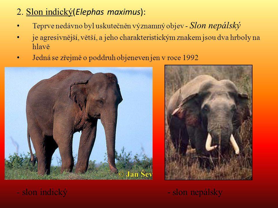 2. Slon indický (Elephas maximus): Teprve nedávno byl uskutečněn významný objev - Slon nepálský je agresivnější, větší, a jeho charakteristickým znake
