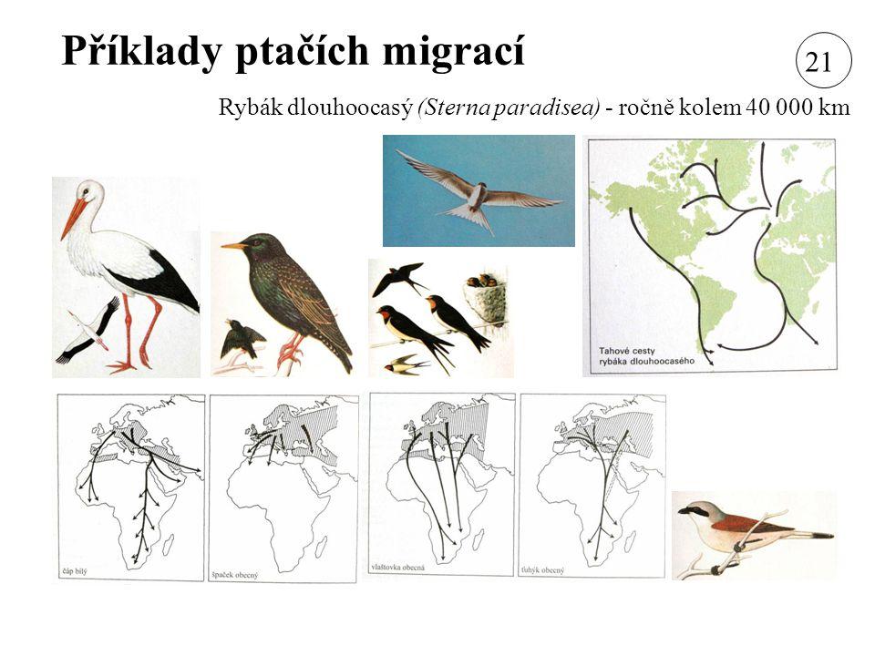 Příklady ptačích migrací Rybák dlouhoocasý (Sterna paradisea) - ročně kolem 40 000 km 21