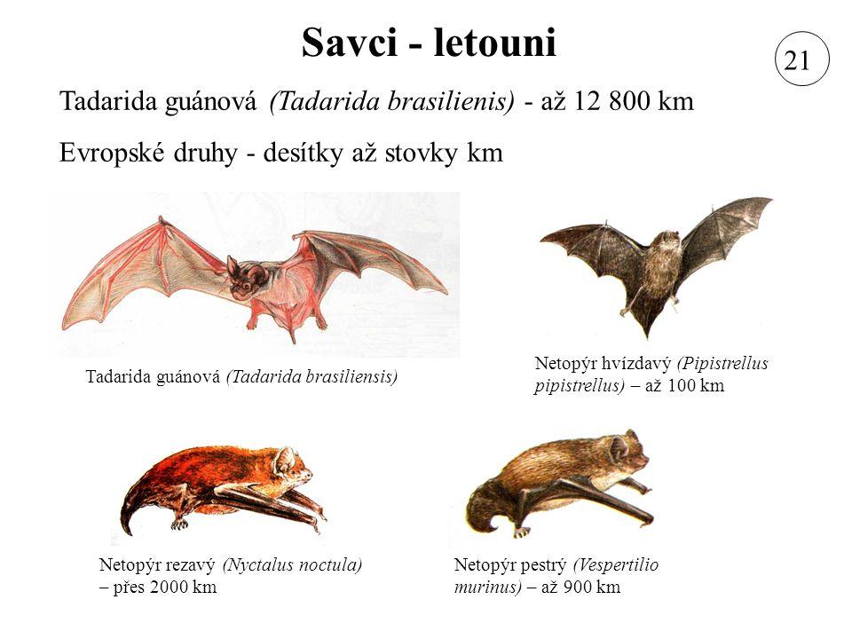 Savci - letouni Tadarida guánová (Tadarida brasilienis) - až 12 800 km Evropské druhy - desítky až stovky km Netopýr rezavý (Nyctalus noctula) – přes