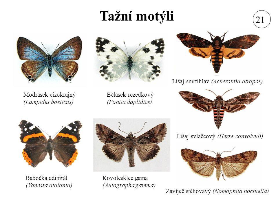 Tažní motýli Modrásek cizokrajný (Lampides boeticus) Lišaj svlačcový (Herse convolvuli) Kovolesklec gama (Autographa gamma) Bělásek rezedkový (Pontia