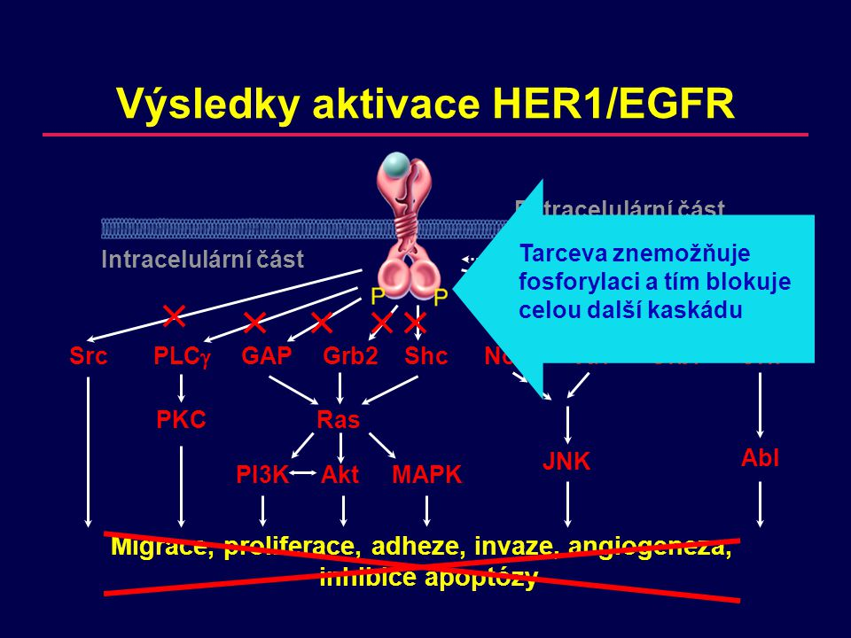 Migrace, proliferace, adheze, invaze, angiogeneza, inhibice apoptózy Výsledky aktivace HER1/EGFR SrcPLC  GAPGrb2ShcNckVavGrb7Crk PKCRas JNK Abl PI3KAkt MAPK Extracelulární část Intracelulární částTransaktivace Mutovaný gen  inhibice apoptózy Léčba TK inhibitorem  apoptóza  regrese nádoru
