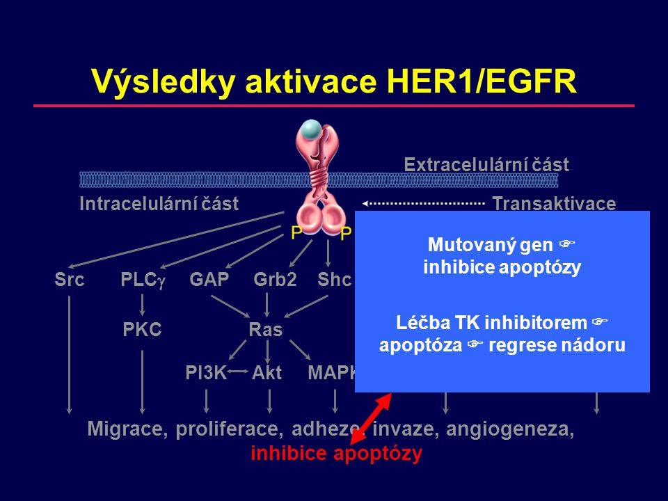 Migrace, proliferace, adheze, invaze, angiogeneza, inhibice apoptózy Výsledky aktivace HER1/EGFR SrcPLC  GAPGrb2ShcNckVavGrb7Crk PKCRas JNK Abl PI3KAkt MAPK Extracelulární část Intracelulární částTransaktivace Mutace genu  inhibice apoptózy Léčba TK inhibitorem  apoptóza  regrese nádoru Nemutovaný gen  zvýšená proliferace Léčba TK inhibitorem  zastavení proliferace  prodloužení doby do progrese a přežití (bez regrese nádoru)