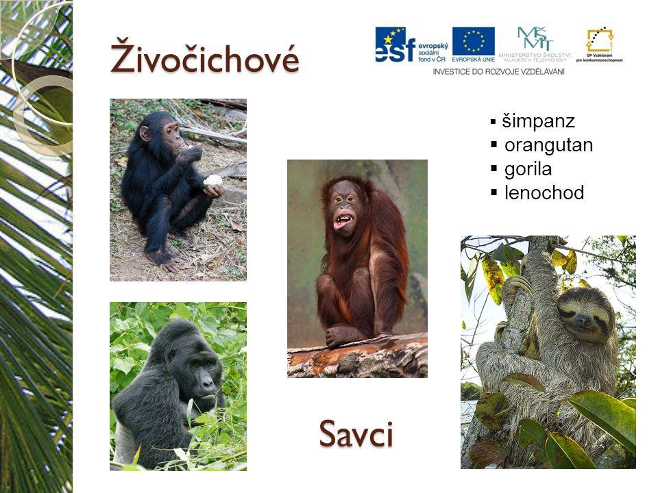 Živočichové Savci  šimpanz  orangutan  gorila  lenochod
