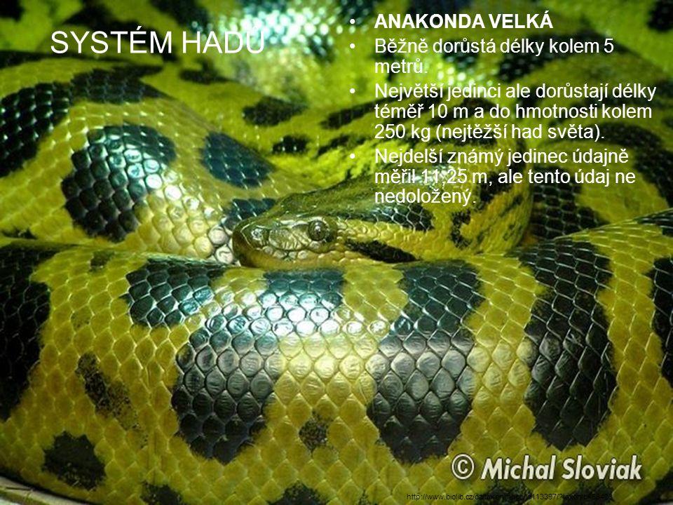 SYSTÉM HADŮ ANAKONDA VELKÁ Běžně dorůstá délky kolem 5 metrů. Největší jedinci ale dorůstají délky téměř 10 m a do hmotnosti kolem 250 kg (nejtěžší ha
