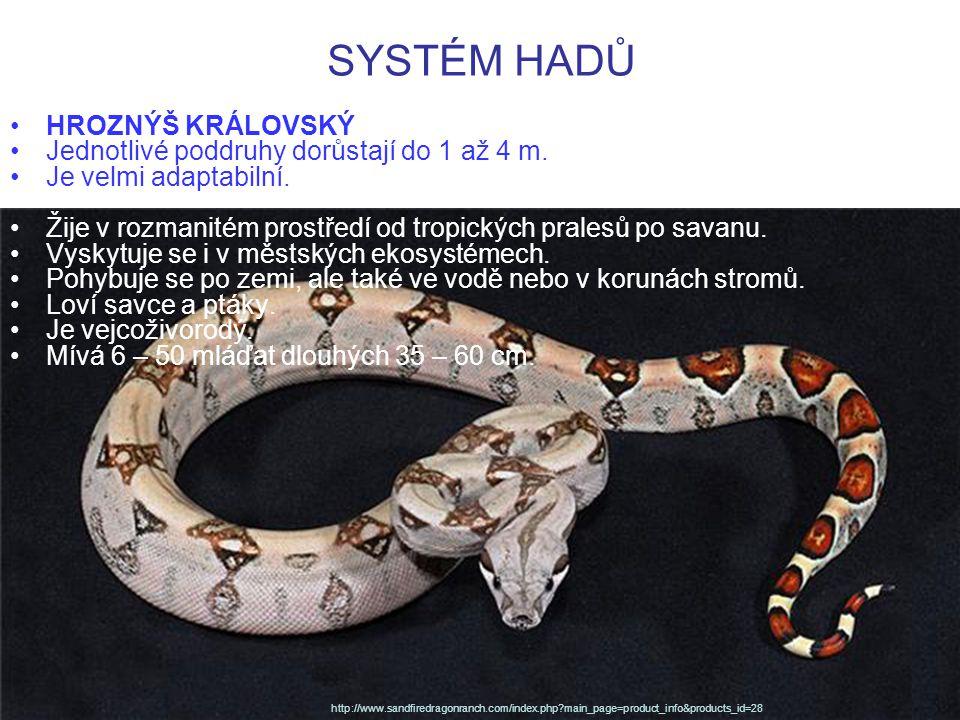 SYSTÉM HADŮ HROZNÝŠ KRÁLOVSKÝ Jednotlivé poddruhy dorůstají do 1 až 4 m. Je velmi adaptabilní. Žije v rozmanitém prostředí od tropických pralesů po sa