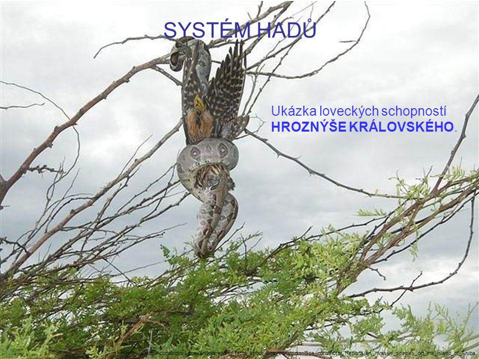 SYSTÉM HADŮ Ukázka loveckých schopností HROZNÝŠE KRÁLOVSKÉHO. http://www.boa-constrictors.com/en/Interesting_facts_about_Boa_constrictor/Boa_constrict