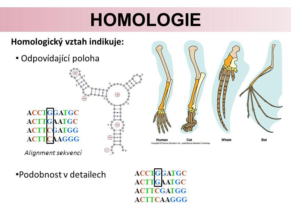 HOMOLOGIE Homologický vztah indikuje: Odpovídající poloha Podobnost v detailech ACCTGGATGC ACTTGAATGC ACTTCGATGG ACTTCAAGGG Alignment sekvencí