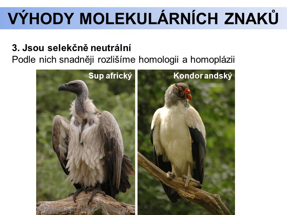 3. Jsou selekčně neutrální Podle nich snadněji rozlišíme homologii a homoplázii Sup africký Kondor andský VÝHODY MOLEKULÁRNÍCH ZNAKŮ
