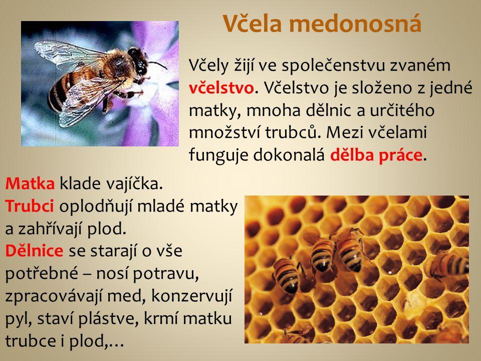 Včely žijí ve společenstvu zvaném včelstvo. Včelstvo je složeno z jedné matky, mnoha dělnic a určitého množství trubců. Mezi včelami funguje dokonalá