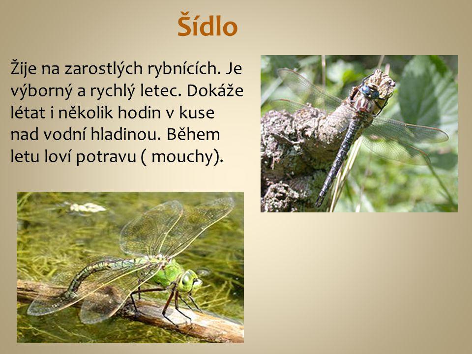 Šídlo Žije na zarostlých rybnících. Je výborný a rychlý letec. Dokáže létat i několik hodin v kuse nad vodní hladinou. Během letu loví potravu ( mouch