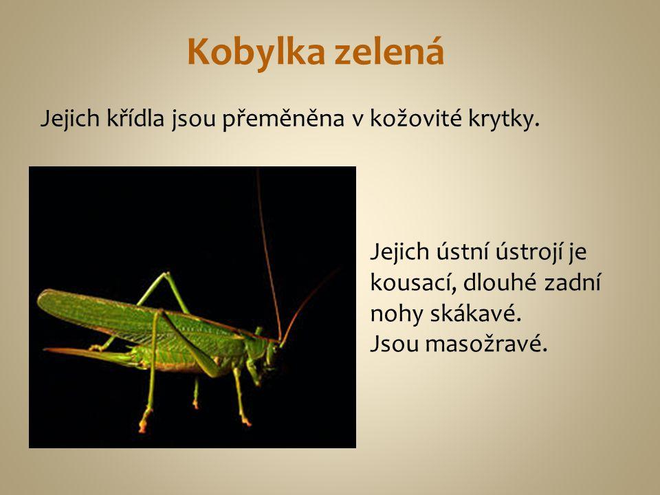 Kobylka zelená Jejich křídla jsou přeměněna v kožovité krytky. Jejich ústní ústrojí je kousací, dlouhé zadní nohy skákavé. Jsou masožravé.