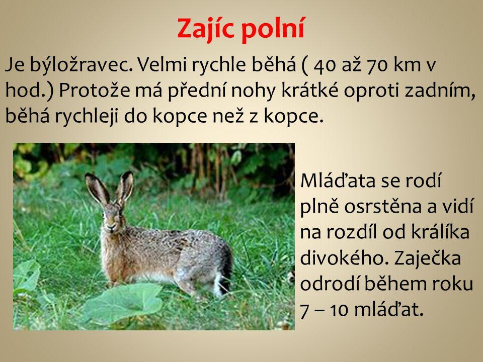 Zajíc polní Je býložravec. Velmi rychle běhá ( 40 až 70 km v hod.) Protože má přední nohy krátké oproti zadním, běhá rychleji do kopce než z kopce. Ml