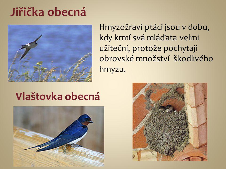 Jiřička obecná Hmyzožraví ptáci jsou v dobu, kdy krmí svá mláďata velmi užiteční, protože pochytají obrovské množství škodlivého hmyzu. Vlaštovka obec