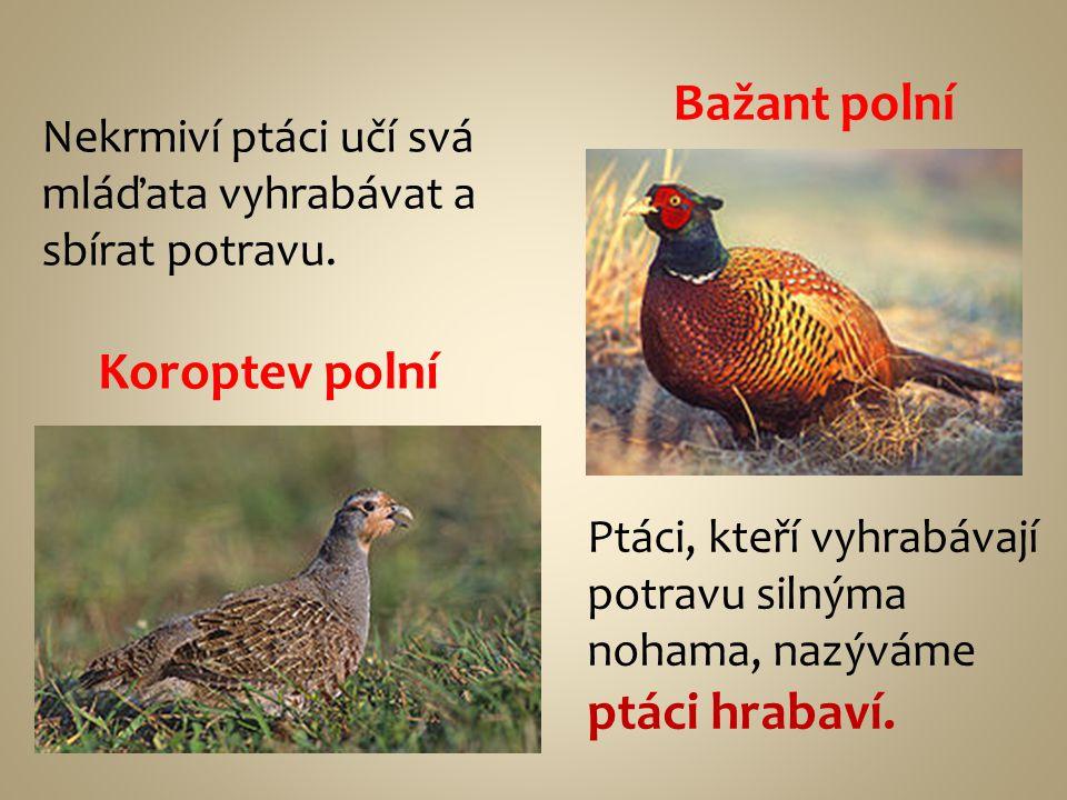 Bažant polní Koroptev polní Nekrmiví ptáci učí svá mláďata vyhrabávat a sbírat potravu. Ptáci, kteří vyhrabávají potravu silnýma nohama, nazýváme ptác