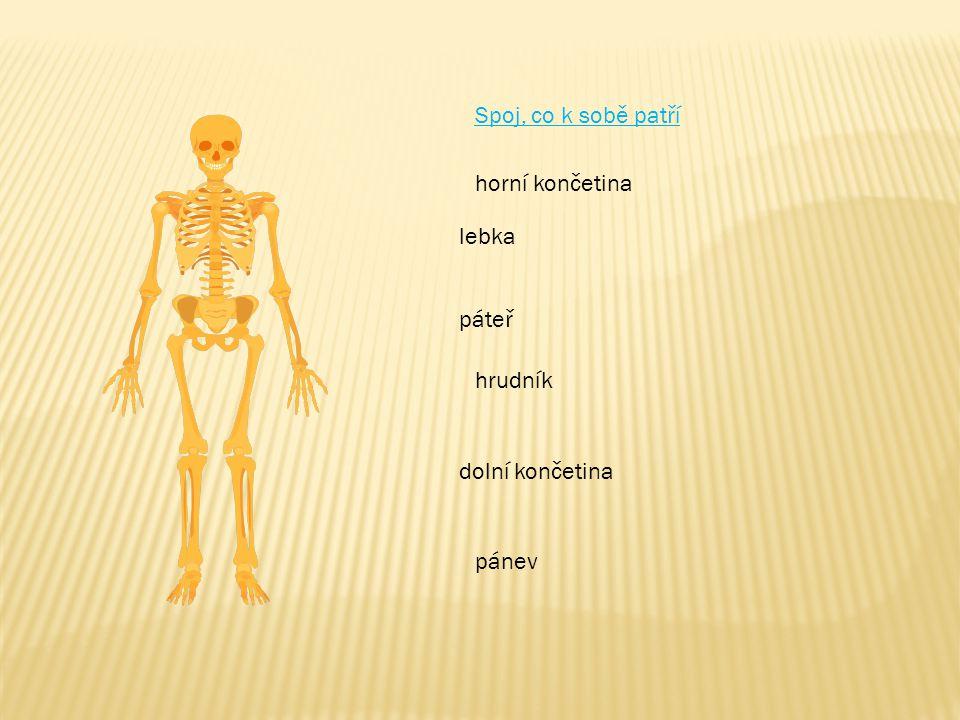 Spoj, co k sobě patří lebka páteř hrudník horní končetina dolní končetina pánev