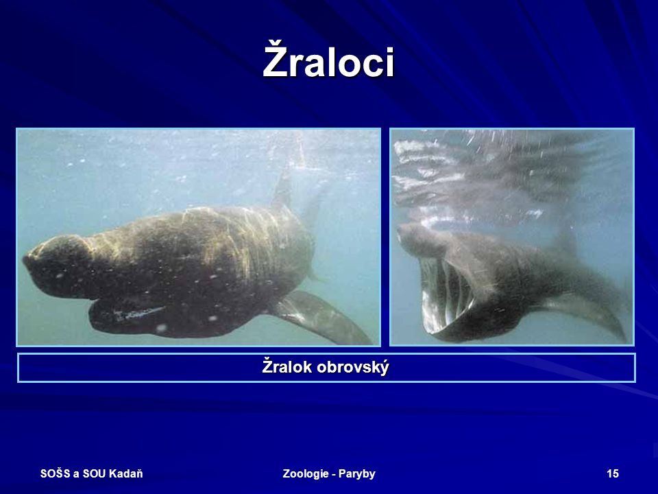 SOŠS a SOU Kadaň Zoologie - Paryby 15 Žraloci Žralok obrovský