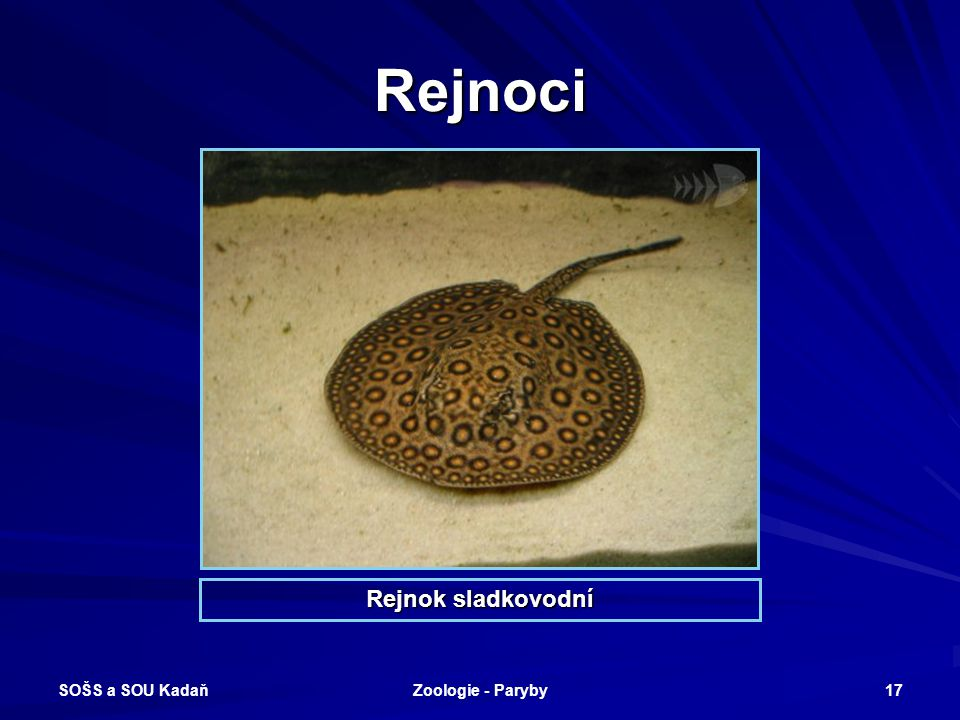 SOŠS a SOU Kadaň Zoologie - Paryby 17 Rejnoci Rejnok sladkovodní