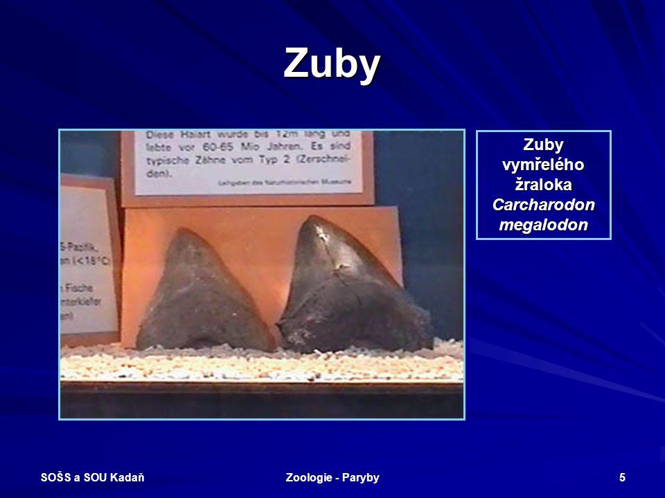 SOŠS a SOU Kadaň Zoologie - Paryby 5 Zuby Zuby vymřelého žraloka Carcharodon megalodon