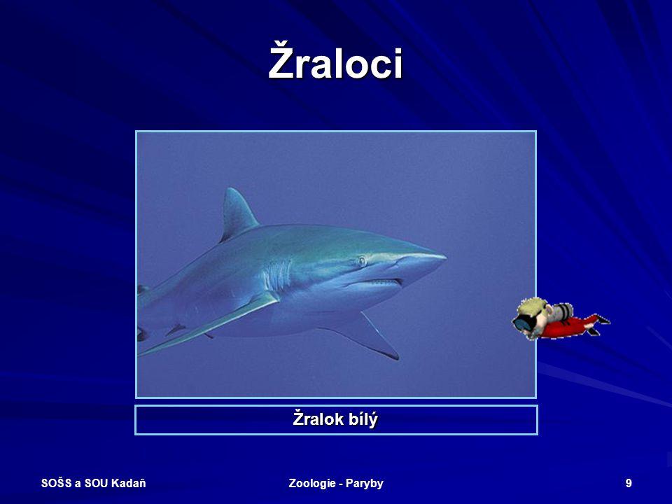 SOŠS a SOU Kadaň Zoologie - Paryby 9 Žraloci Žralok bílý