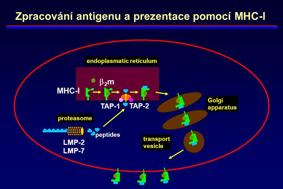 Zpracování antigenu a prezentace pomocí MHC-I endoplasmatic reticulum Golgi apparatus transport vesicle proteasome TAP-1 TAP-2 MHC-I 2m2m LMP-2 LMP-