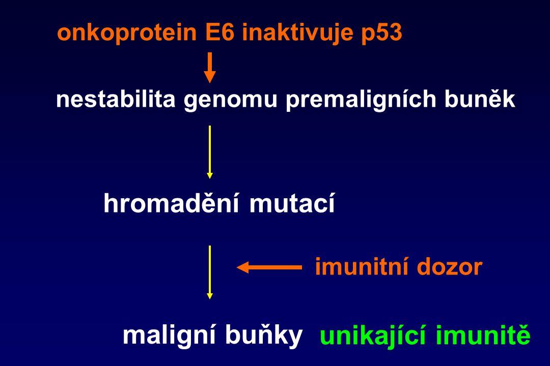 nestabilita genomu premaligních buněk hromadění mutací maligní buňky imunitní dozor onkoprotein E6 inaktivuje p53 unikající imunitě