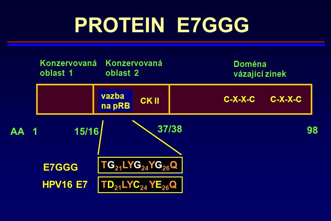 PROTEIN E7GGG C-X-X-C C-X-X-C vazba na pRB CK II Konzervovaná oblast 1 Konzervovaná oblast 2 AA115/16 37/38 98 Doména vázající zinek TG 21 LYG 24 YG 2