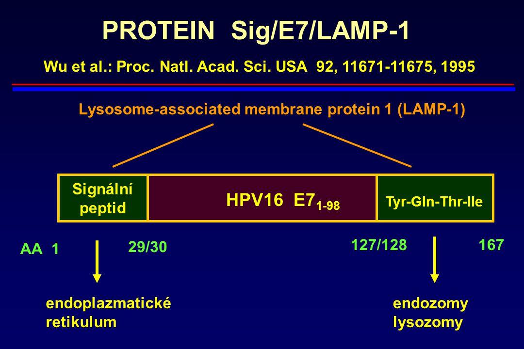 PROTEIN Sig/E7/LAMP-1 Signální peptid AA1 29/30 127/128167 HPV16 E7 1-98 Tyr-Gln-Thr-Ile endoplazmatické retikulum endozomy lysozomy Lysosome-associat