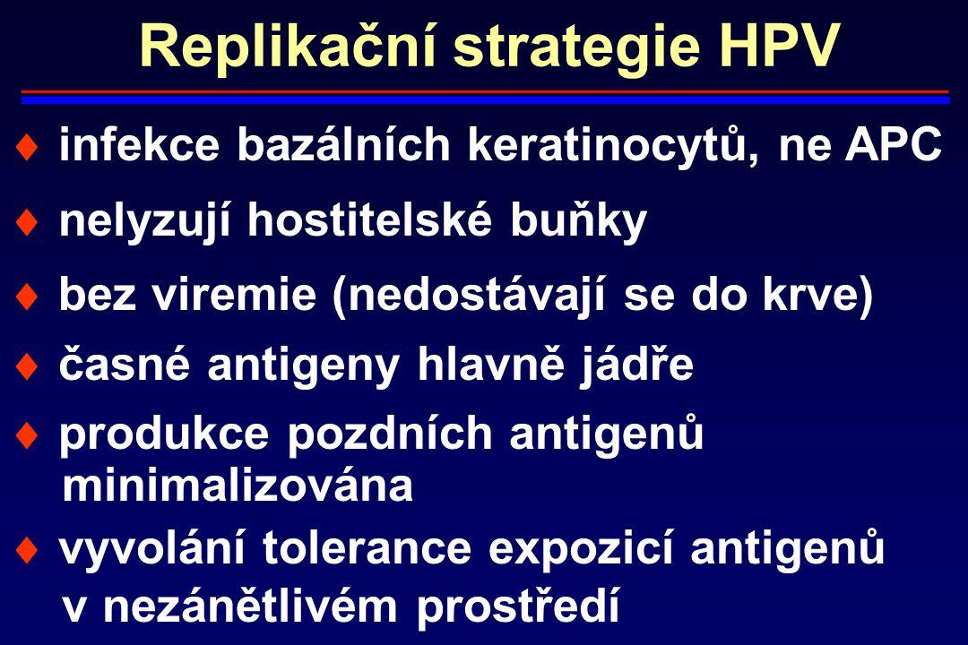 Replikační strategie HPV  infekce bazálních keratinocytů, ne APC  nelyzují hostitelské buňky  bez viremie (nedostávají se do krve)  časné antigeny