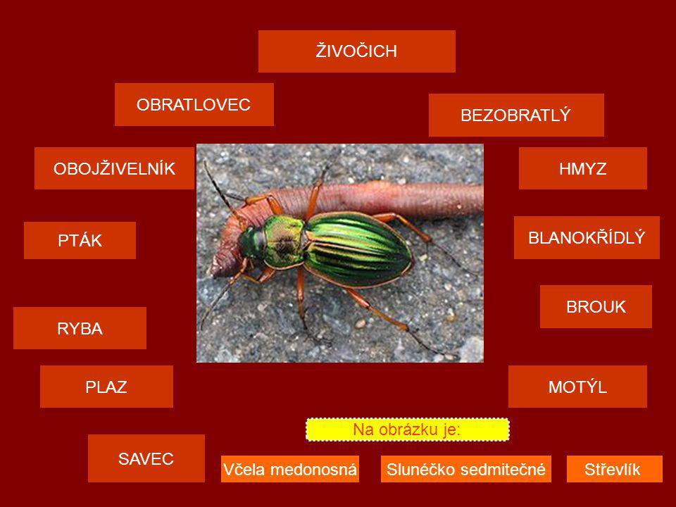 ŽIVOČICH OBRATLOVEC SAVEC PTÁK PLAZMOTÝL OBOJŽIVELNÍKHMYZ BEZOBRATLÝ RYBA BROUK BLANOKŘÍDLÝ Na obrázku je: Včela medonosnáSlunéčko sedmitečnéStřevlík