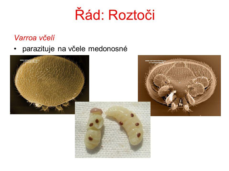 Řád: Štíři Štír kýlnatý vzhledem připomíná raka konec zadečku - zúžený – hrot s jedovou žlázou dravý – lov za soumraku tropické oblasti i J Evropa